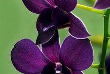 Dendrobium Sa Book