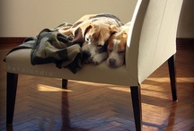 Beagles / by For Tails Only~Changing Lives one Paw at a time.