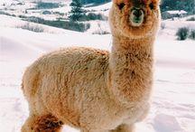 alpacas <3 <3