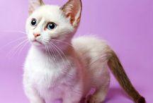 Munchkin cats / by Julie Bell