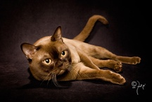 BURMESE / by Cat Fanciers Association
