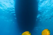 Butterfly fish / Butterfly fish