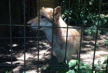 Animais / Lobo Europeu no zoológico de São Paulo.