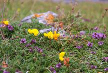 Flowers of Cliffs of Moher / Flowers that grow on or near the Cliffs of Moher