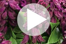 2015 New Variety Videos / We have such wonderful plants that are new for gardeners this spring. These videos will show you the true beauty of these varieties at the height of maturity in the landscape and containers.  / by Proven Winners Plants