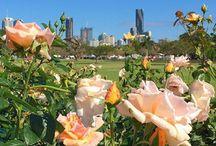 Beautiful Brisbane / Lady Brisbane at New Farm Park Rose Gardens