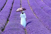 Purple Lavender Violet