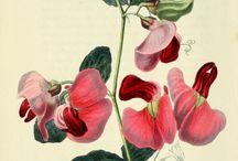 Botanical drawings/botanische tekeningen