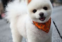 Grooming style for pom