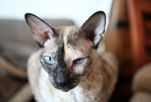 Cat Capers with Sambala / My gorgeous cornish rex Sambala at play