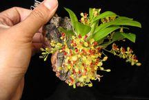 Orquídeas diminutas
