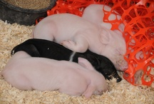 10 piggies in the bed...  / Animals that can be found at the state fair, past and present. Afterall, what's the fair without a few animals?
