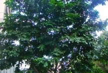 """Pau Brasil / """"É o grande referencial da nossa história pois, no período da colonização, foi o principal sustentáculo da economia do país, o que quase o extinguiu. Planta espinhenta que chega a medir até 30 metros de altura. A madeira é uniformemente laranja ou vermelho-alaranjada e se torna vermelho-violácea com reflexo dourado após o corte. Suas flores são amarelas, sendo que uma das pétalas apresenta uma mancha vermelho-púrpura. Das flores exala um suave perfume"""" por Raoni Mendonça, engenheiro ambiental"""