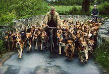 Beagles  / Love them!