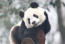 Panda anais