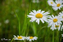 Flori / flori si legende detalii pe: www.iness.ro/jurnal