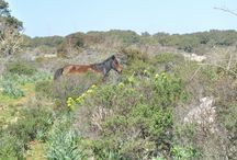 i cavallini della GIARA (SARDEGNA)