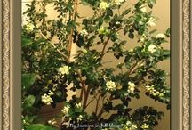 My favourite plants / Jasmine and roses are my favourite plants. I love their fragrance. Just sipping a cup of tea beside a jasmine plant in full bloom.... ... .....So intoxicatingly heavenly!! The jasmine fragrance fills your house and haunts you wherever you go......... you just cannot ask for anything more!!