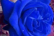krásné modré růže
