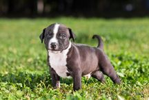 "Bully Breeds / This board is dedicated to all lovable ""Bully Breeds"", breeds including the American Pit Bull Terrier, American Staffordshire Terrier, Staffordshire Bull Terrier, and Bull Terrier."