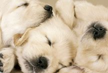 Golden Retrievers:) oh so cute!