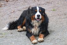 Boyeros de Berna / Grandiosa raza de perros