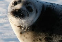 STOP THE CANADIAN SEAL HUNT! / by Last Chance for Animals