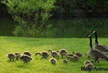Baby goose / Baby goose pictures