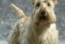Wheaten Scottish Terrier / Super cute wheaten Scottish Terriers!