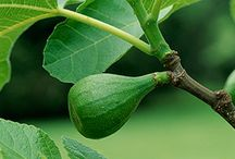 GARDENING | GROW Fig trees