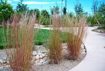 Raingarden Plants / Minnesota native plants for my raingarden / by Kristi Winkels