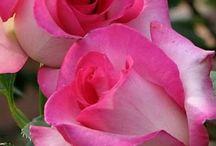 KVĚTY RůŽE