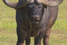 Beeldhou - Buffels