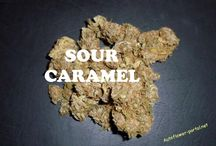 Strain: Sour Caramel / Breeder: N.W Second generation medical cross. Med/Large size plants. Noted medical effects: Great all round pain reliever and appetite stimulator, effects lasting up to 2 hrs. Good evening/bedtime relaxer. Aroma/Taste: Earthy; Spicy; Sweet; Skunk
