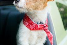 #Terriers Jack Russell