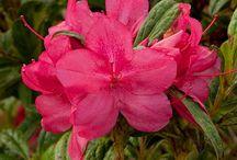 Rhododendrom - Azaleas