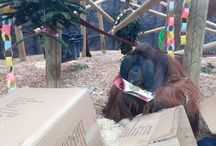 Great Apes - Orangutans / http://babybaboons.webnode.hu/ (Bornean- and Sumatran Orangutans)