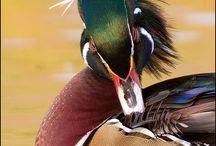 Ducks Swan Geese