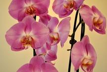 Beautiful Phalaenopsis / Beautiful pics of Phalaenopsis Orchids