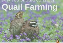 Homesteading quails