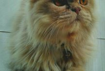 Cookie my cat / Cookie my persian cat