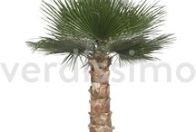 Palma Washingtonia / Sure you know this palm tree, very common in some warm and sunny areas.