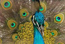 peacocks <3 / by Kelly Madison