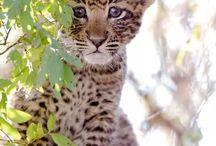 léopard ❤