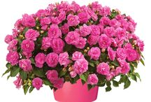 Flowers (Pink) / It's all about plants with pink flowers.