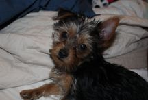 Gracie Mae / My beautiful puppy Gracie who stole my heart and makes us so happy every day. She was my saving grace after i lost my other yorkie Diva who was 10 years old so i named her Gracie Mae