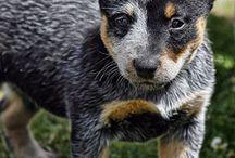 Cão Boiadeiro Australiano