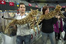 Cats & Cat Shows