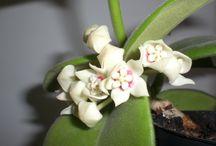 Hoya / Kwiaty i liście Hoi.