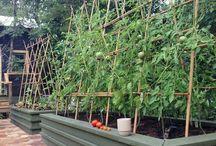 tomato trelis
